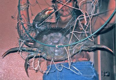 Crab samoan female 4 54 lbs